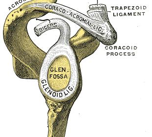 Cavità glenoidea